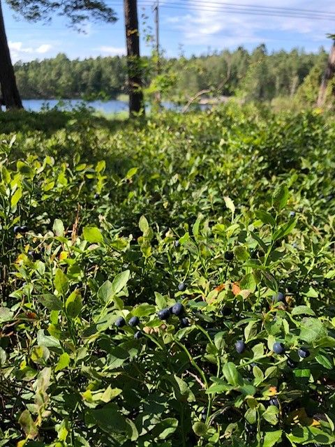 Blåbärsskog/ Blueberries in the nearby forest